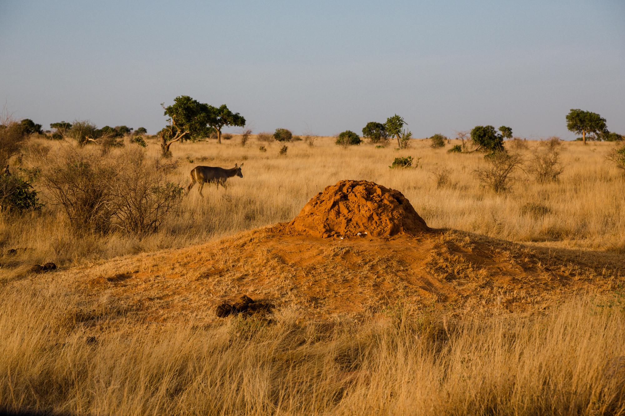 Termitiště, Tsavo East