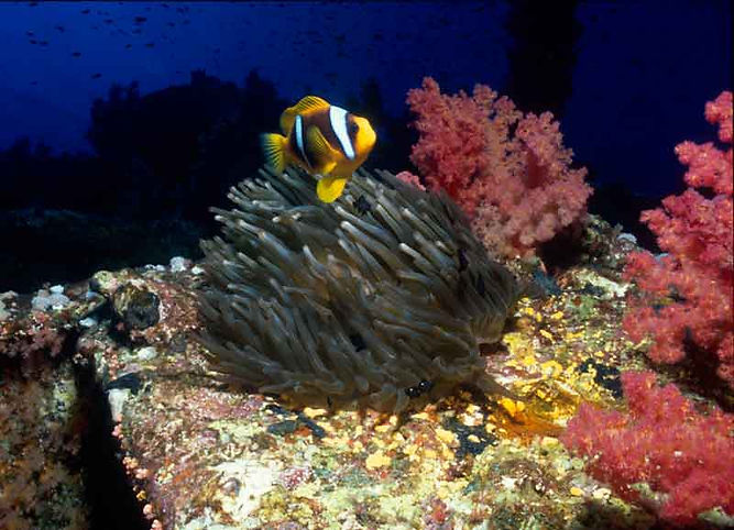 indonesia, diving holidays, snorkeling, diving, scuba, divers, scuba diver, diveshop, scuba dive, dive shop, clown fish, anemone fish