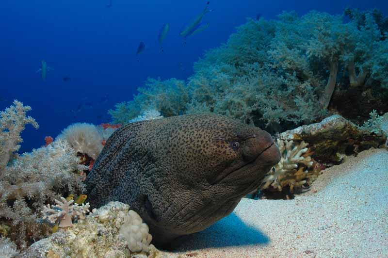 Haan's reef