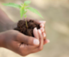 Hemp Seedling Plant HempWorx Affiliate 2.jpg Organic CBD Oil, full spectrum OCD Anxiety www.hempworx.health HempWorx health benefits http://www.HempWorx.com/HempWorxSupport