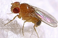 Mosca da banana (Drosophila melanogaster