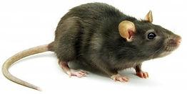 rato de forro.jpg
