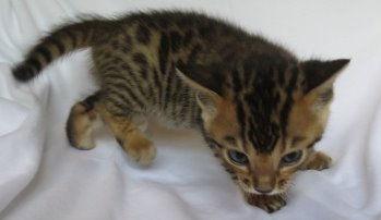 Dallas Texas Bengal Kittens
