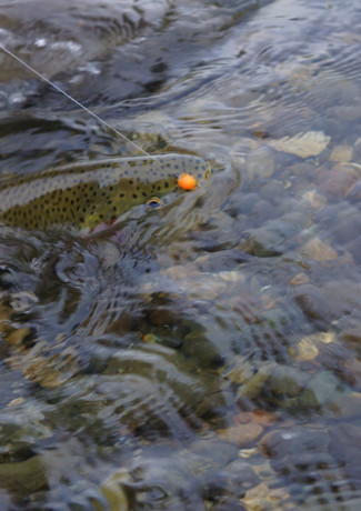 Native Rainbow Trout