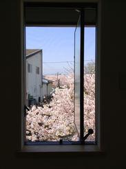 キッチンから桜