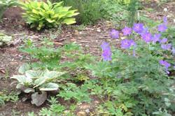 フウロソウ属フウロソウ科(Geranium)