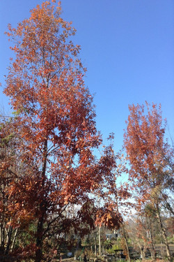 ブナ科コナラ属コナラ(Quercus serrate)