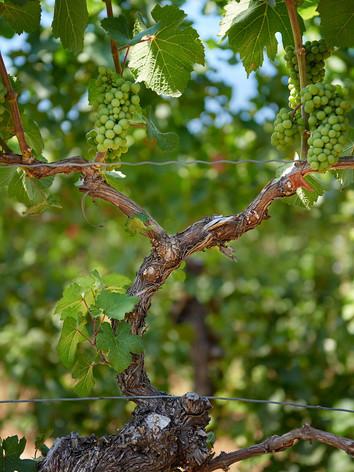 Acadia Vineyard