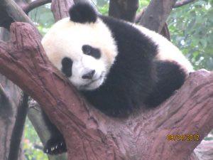Pandas born in captivity are sociable; pandas born in the wild are loners.
