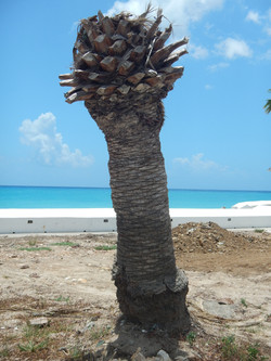 Hurricane affected Tree