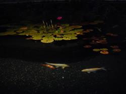 Lotus in Koi Pond