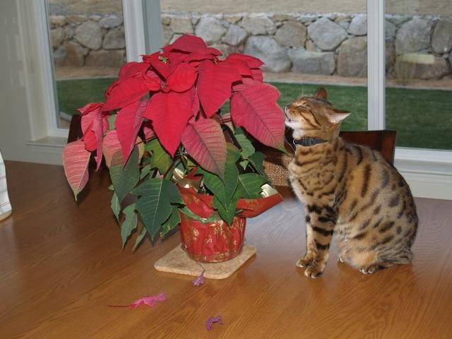 Cat eating Poinsettia - Image credit: snapguide.com
