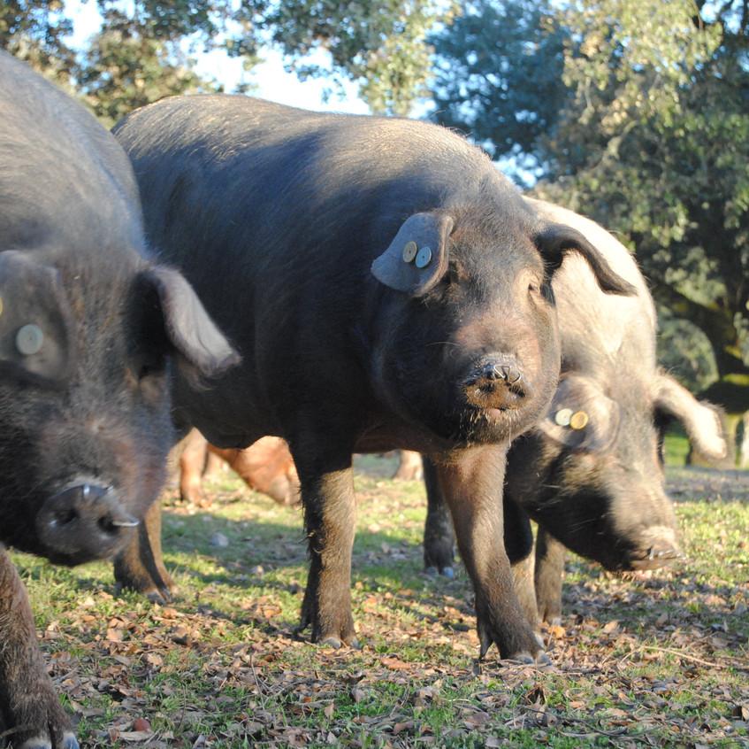 Ibérico pigs produce the finest ham