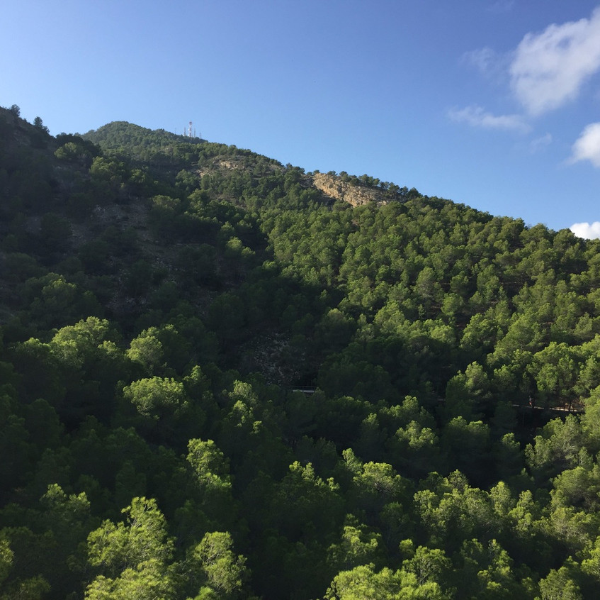 Magnificent pine woods