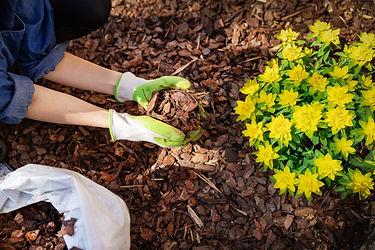 gardener mulching flower bed with pine t