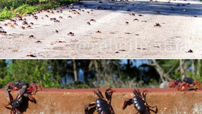 De la nature cubaine - Par René Lopez Zayas - La migration des crabes rouges