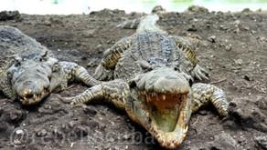 De la nature de Cuba - Par René Lopez Zayas - Les crocodiles cubains