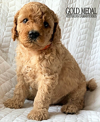 Gold Medal Puppy 1.png