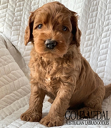 Gold Medal Puppy 8.png