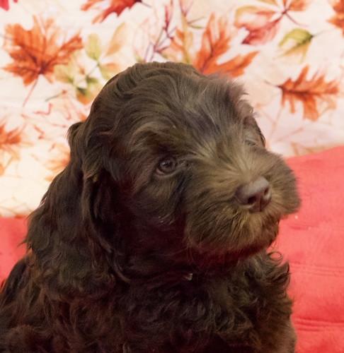 Chocolate puppy 2.JPG