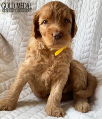 Gold Medal Puppy 2.png