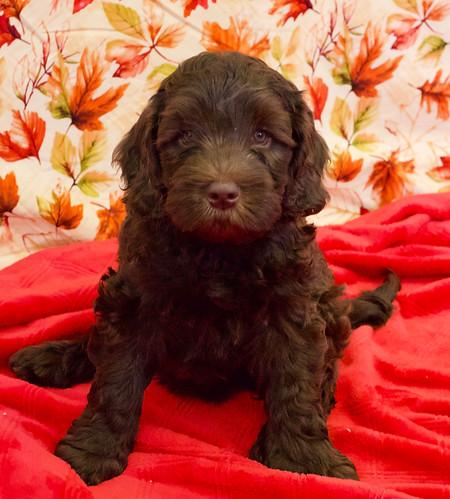 chocolate puppy 4.JPG