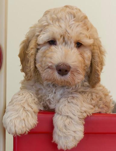Cream puppy 1.JPG