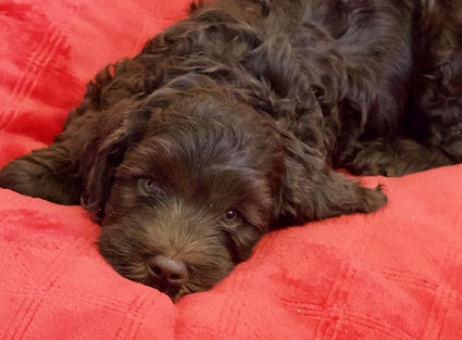 Chocolate puppy 3.JPG