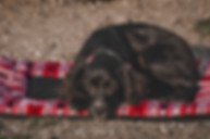 black-dog-lays-on-red-bed-on-sand.jpg