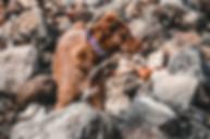 brown-and-white-dog-wearing-pink-collar-