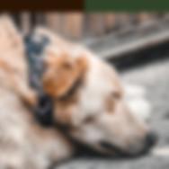 golden-retrieve-dog-lays-on-cobblestones