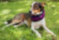 brown-white-beige-dog-wears-pink-bandana