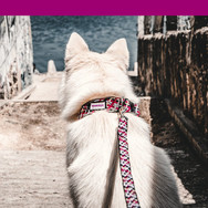 white-wolf-dog-wears-matching-pink-Knott