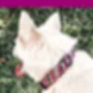 white-dog-sitting-on-grass-wearing-pink-