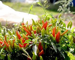 Organic Vegetables - Alexander and Darlene's Farm Haven