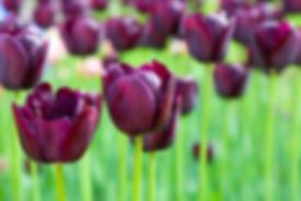 Purple tulips growing under LED grow lights