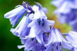 bluebell 4