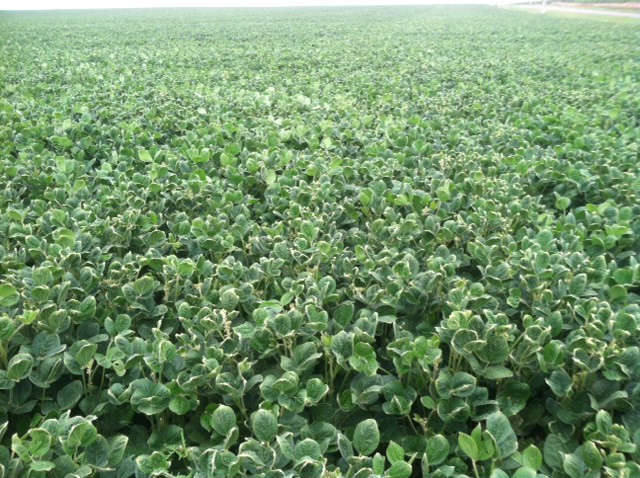 A Central Illinois soybean field experiences cupped leaves likely from dicamba drift / CIFN photo.