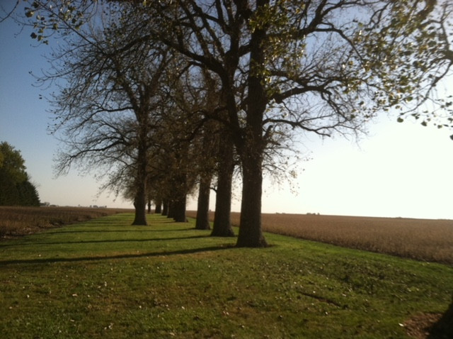 The Casson family cottonwood trees shown last fall / CIFN photo.