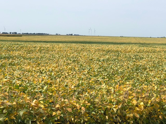 Soybeans are shown in Livingston County Monday afternoon / CIFN photo.