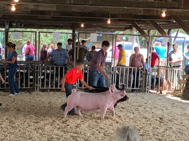 The Fairbury Fair hog show on Wednesday morning / CIFN photo.