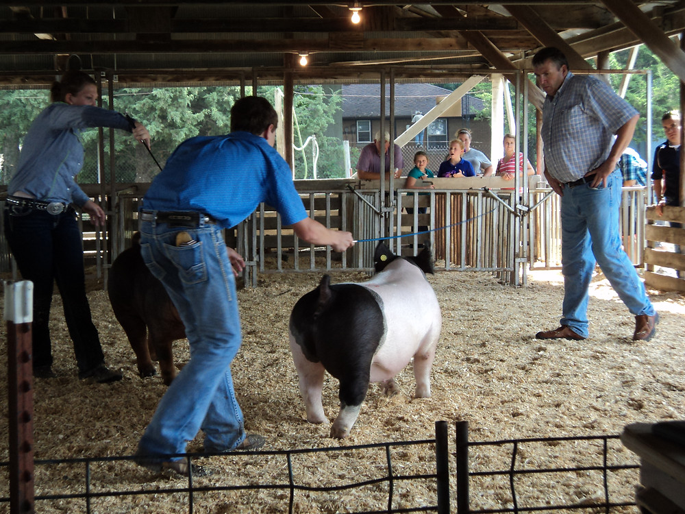 The swine show during opening day of the Fairbury Fair Wednesday / CIFN photo.