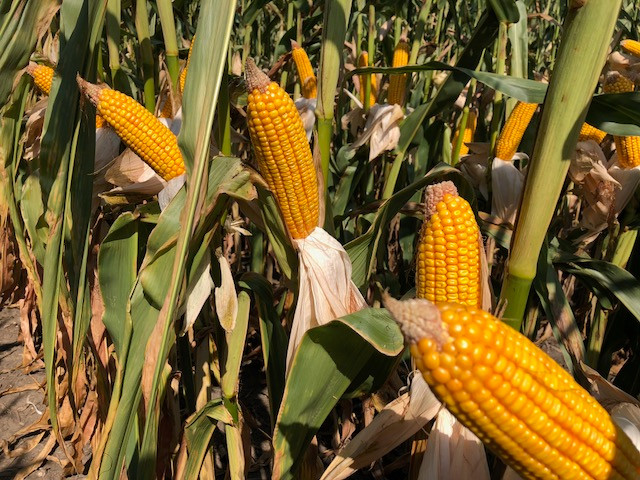 Ears of corn are displayed at the recent Beck's Central IL Field Show in El Paso / CIFN photo.