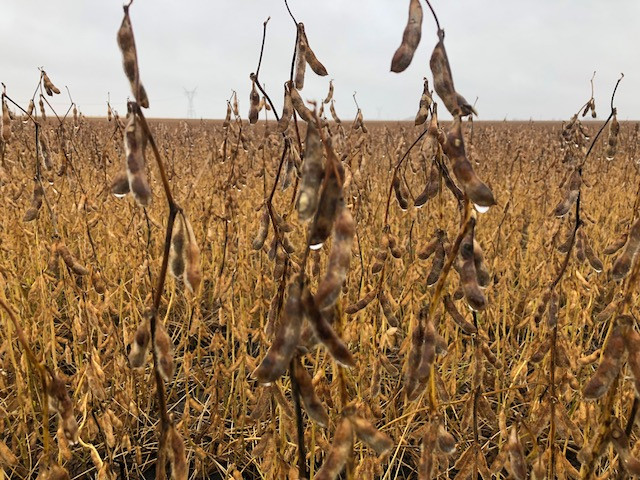Wet soybeans are shown in Livingston County last week / CIFN photo.