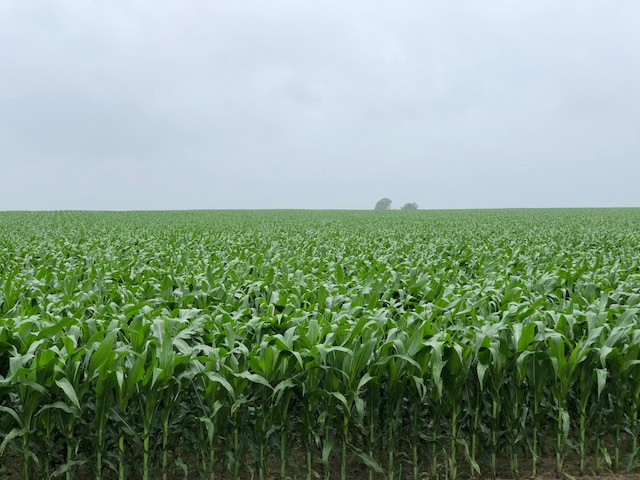 Corn is shown growing in Livingston County Monday while a light rain falls / CIFN photo.