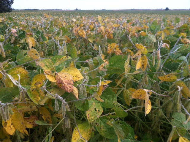 A Livingston County soybean field turns yellow / CIFN photo.