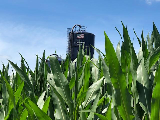 A corn field is shown in Livingston County last week north of Meadows / CIFN photo.
