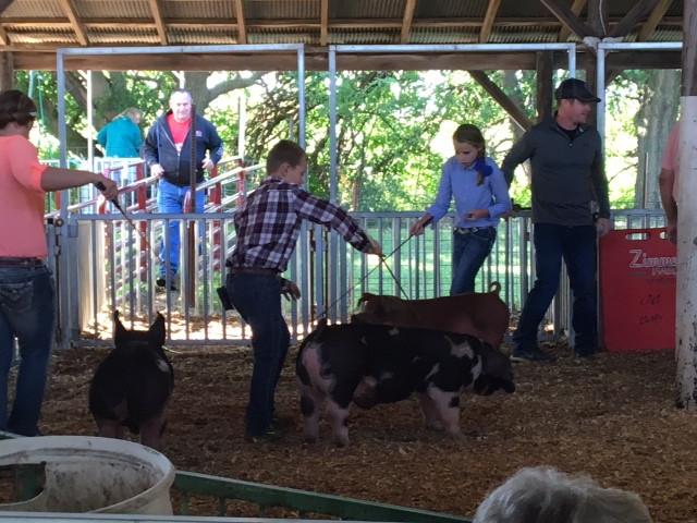 Monday's hog show at the Ford County Fair / CIFN photo
