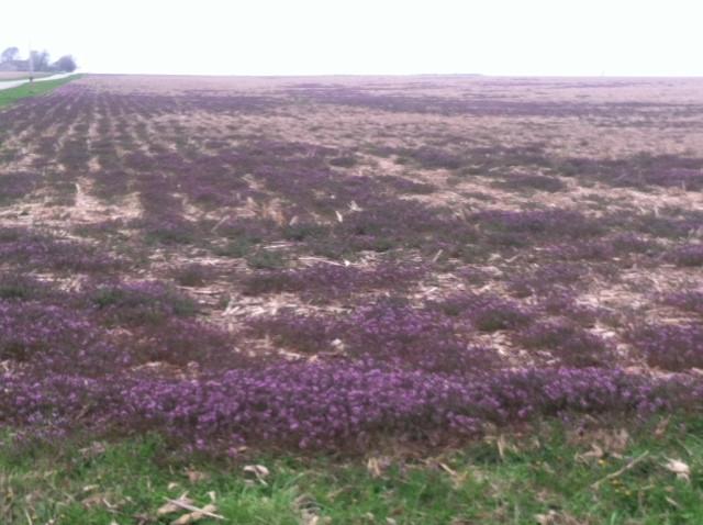 A field of weeds is shown in McLean County last week / CIFN photo