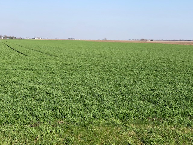 A growing wheat field is shown in Livingston County last week / CIFN photo.